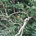 Photos: 柿を食べに来たヒヨドリ