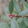 Photos: ブルーベリーの花芽