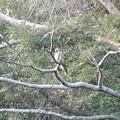 Photos: 山道で見かけたノスリ