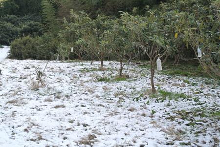 雪のびわ畑