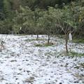 Photos: 雪のびわ畑