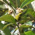 Photos: びわの花の蜜を吸いにきたメジロ