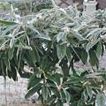 写真: 霜が降りたびわの木