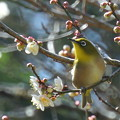 Photos: 梅の花とメジロ