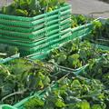 Photos: 食用菜花の収穫