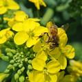 Photos: 菜花とミツバチ