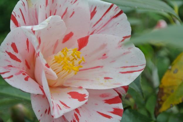 Photos: ピンクに赤い模様の椿