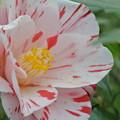 写真: ピンクに赤い模様の椿