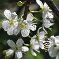 写真: ソルダムの花