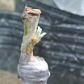 Photos: びわの接ぎ木の新芽