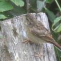 Photos: アオジの幼鳥