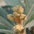 Photos: ハウスのびわの花芽