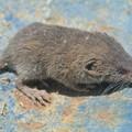 ビニールハウスで捕まえたネズミ