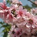 庭の桃の花