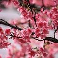 Photos: 桜三昧