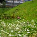 写真: 野菊の中に詰め草