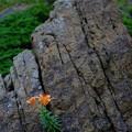 Photos: 岩に咲くスカシユリ - 種差海岸