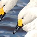 白鳥(成鳥)