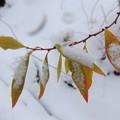 雪中の紅葉-5