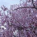 わんさか桜