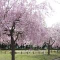写真: 桜 #342