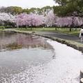 写真: 桜 #343