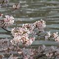 Photos: 東京の桜