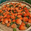 Photos: イチゴ収穫1