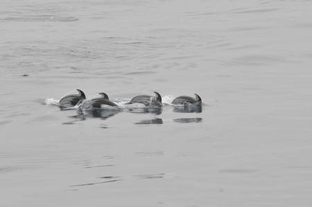 苫小牧沖のカマイルカの群れ3