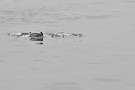 苫小牧沖のカマイルカの群れ4