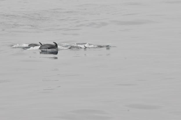 Photos: 苫小牧沖のカマイルカの群れ4