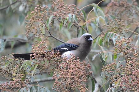 台湾の野鳥 タイワンオナガ