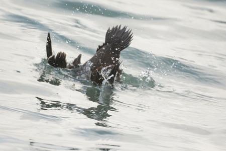 潜水採餌するコケワタガモ