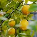 お庭にレモン♪