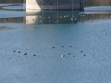 狭山湖のムーミンの家の水鳥たち