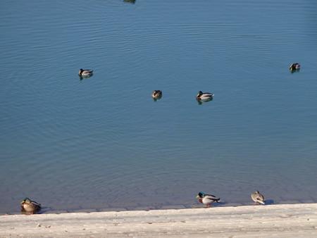 狭山湖と水鳥
