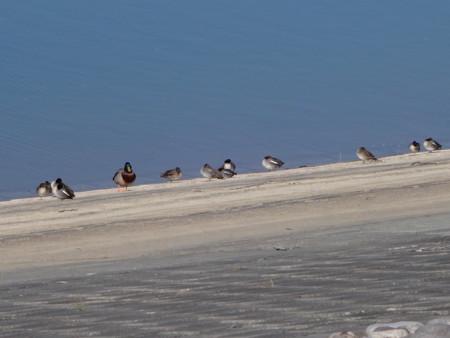 狭山湖の水鳥たち