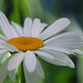 Shasta Daisy 6-30-12