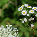 Daisy Fleabane and Queen Anne's Lace 7-14-12