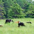 Cattles 6-7-12