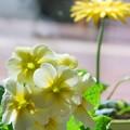 Photos: Primula and Gerbera 3-16-13