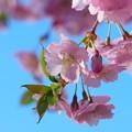 Photos: Sakura 5-1-13