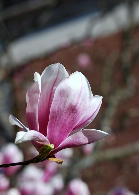 Saucer Magnolia 5-1-13