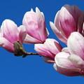 Photos: Saucer Magnolia Flowers 5-1-13