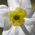 Daffodil in the Morning 5-15-13