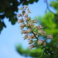 写真: Horse Chestnut in the Sky 6-2-13