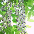 Photos: Wisterias 6-9-13