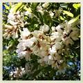 Photos: False Acacia Flowers 6-9-13