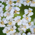 Photos: Yarrow 6-9-13