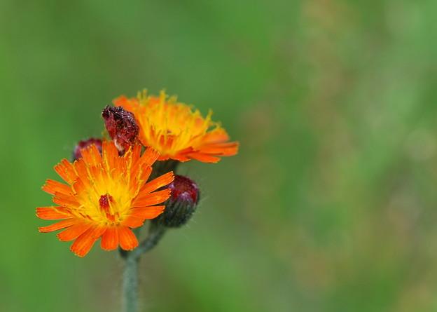 Orange Hawkweed 6-16-13
